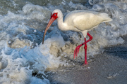 Ibis in the Surf - Tampa Bay Florida