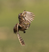 Burrowing Owl in Flight - Fort Collins, Colorado