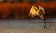 Sandhill Crane morning takeoff - Bosque del Apache National Wildlife Refuge, New Mexico