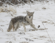 Coyote with Prey - Aurora, CO