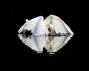Great Egret and its reflection - Morristown, NJ