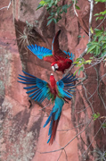 Red and Green Macaw - Pantanal, Brazil