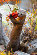 American Pine Marten - snowy range, carbon county wyoming
