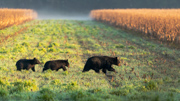 The Three Bears - Pocosin Lakes National Wildlife Refuge, NC