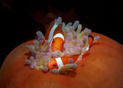 The same Nemo... - Negros Oriental, Philippines