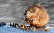 Hungry Muskrat - Littleton, Colorado