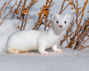 Ermine - Rocky Mountain National Park, Colorado