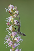 Brown Anole lizard on Blazing Star - Everglades National Park, Florida