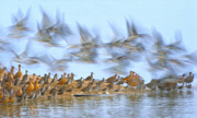 Shorebird Spectacle - Foster City, CA