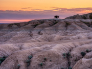 Bison in the Badlands at sunset - Badlands National Park, SD