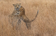 Love You Mom-Leopard and Cub - S Africa