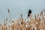 Blackbird in a snowstorm - Longmont, Colorado